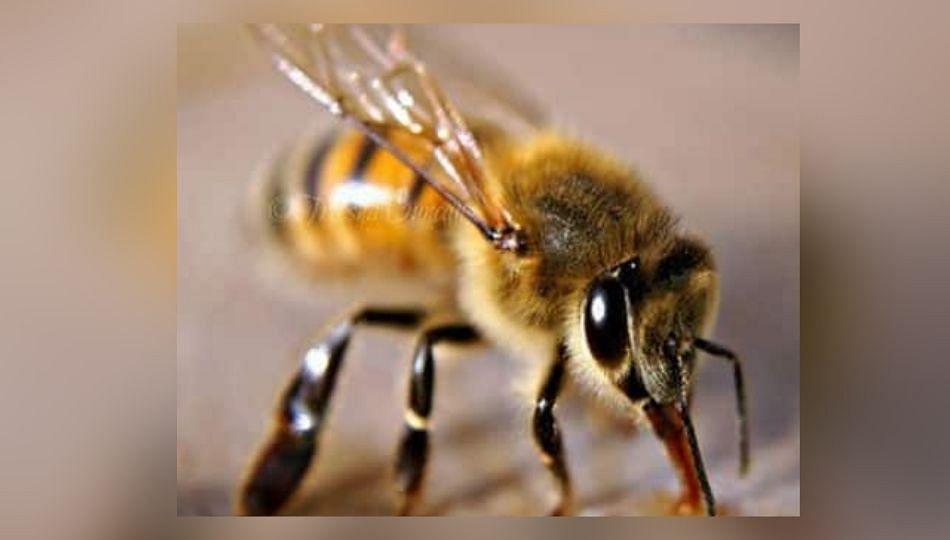 Breaking : गणेशभक्तांवर विसर्जनादरम्यान मधमाशांचा हल्ला; १६ जण जखमी!