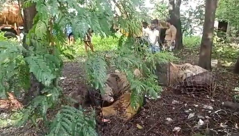 नागपूरातील मोकाट डुक्कर निघाले तामीलनाडूला; पकडली ४०० हून अधिक डुकरे