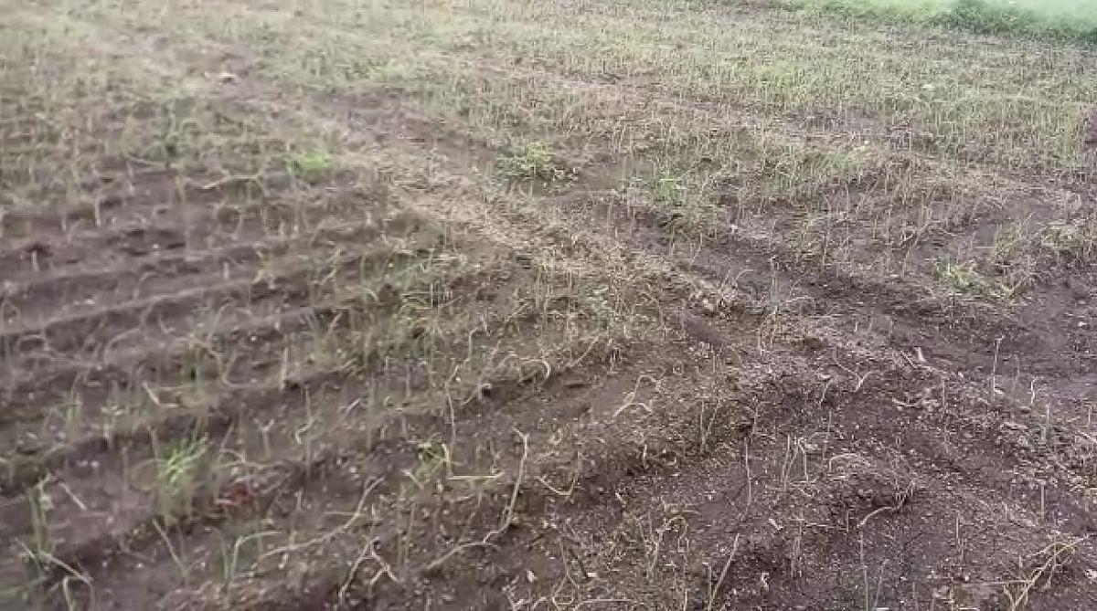 कांदा उत्पादक शेतकऱ्यांना हवामान बदलाचा फटका