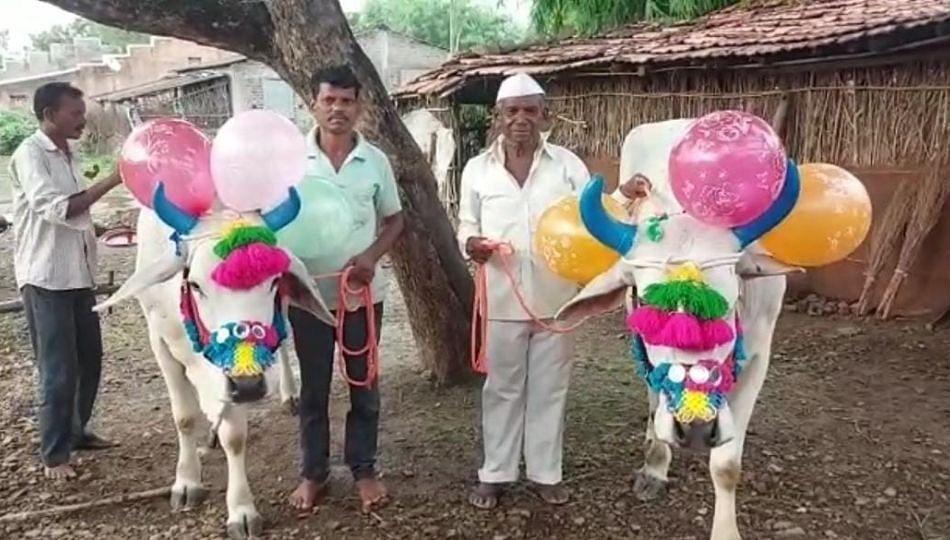 Nandurbar: शेतकऱ्यांसोबत राबणाऱ्या सर्जा राजाचा बैलपोळा सण उत्साहात साजरा