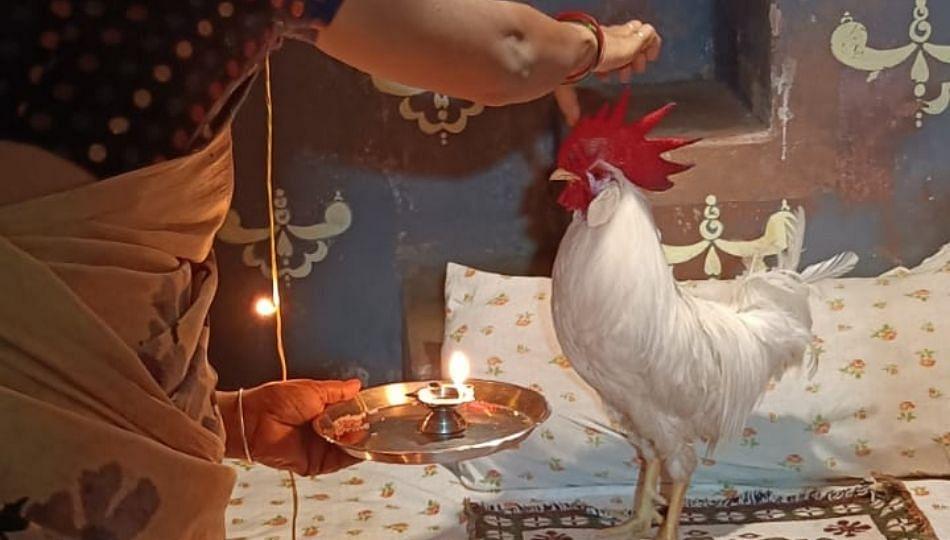 नागपूरात कोंबड्याचा वाढदिवस थाटात साजरा!; जेवणाला चक्क गोडधोड