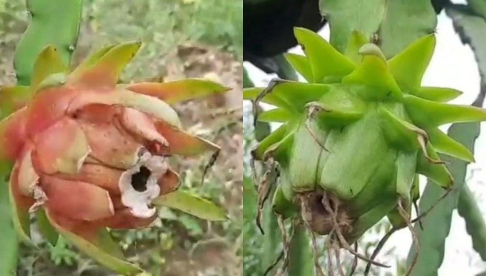 Chandrapur; ड्रॅगन फ्रुट शेतीचा प्रयोग यशस्वी...