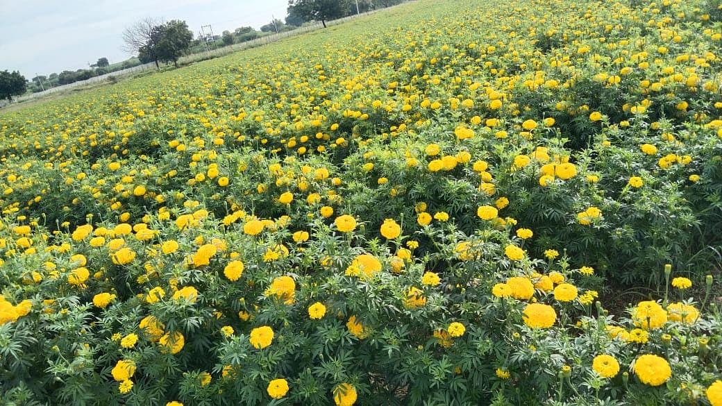 शेतकरी झाला लखपती..झेंडू फुलांना मिळाला उच्चांकी भाव