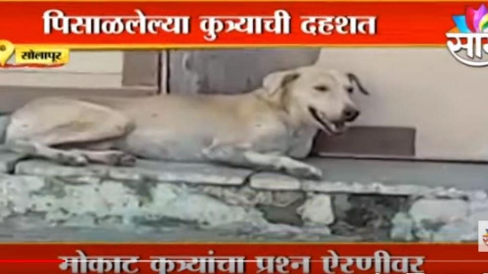 #Solapur: कुत्र्यामुळे पळता भूई थोडी, पाहा हा कुत्रा किती लोकांना चावलाय?