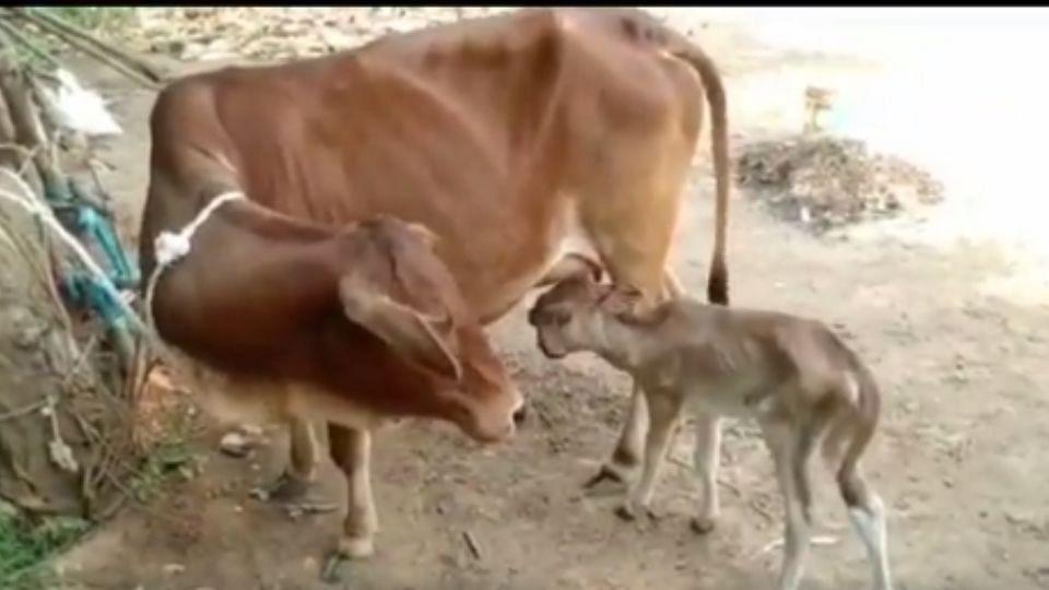 ओडिशात जन्मले 2 डोके आणि 3 डोळ्यांचे वासरु, पुजेसाठी लोकांची गर्दी; पाहा Video