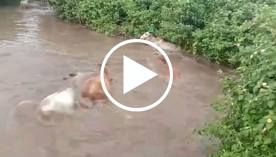 अतिवृष्टीमुळे बेलदरीत 40 जनावरे गेली वाहून... (पहा व्हिडिओ)