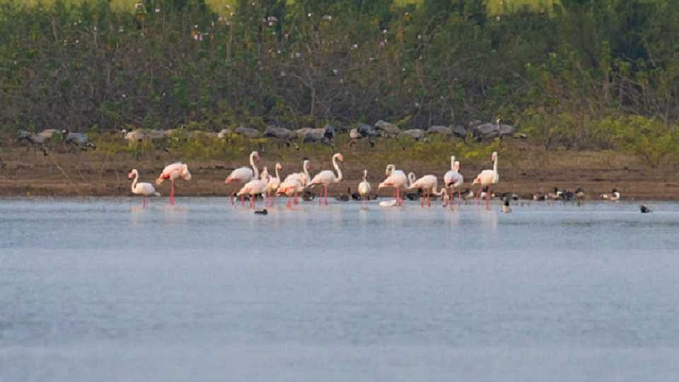 बीड जिल्ह्यातील तलावावर अवतरले फ्लेमिंगो पक्षी