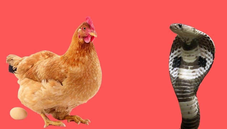 अख्खी कोंबडी गिळण्याचा नागाचा प्रयत्न फसला ! सर्पमित्रांकडून नागाला जीवदान
