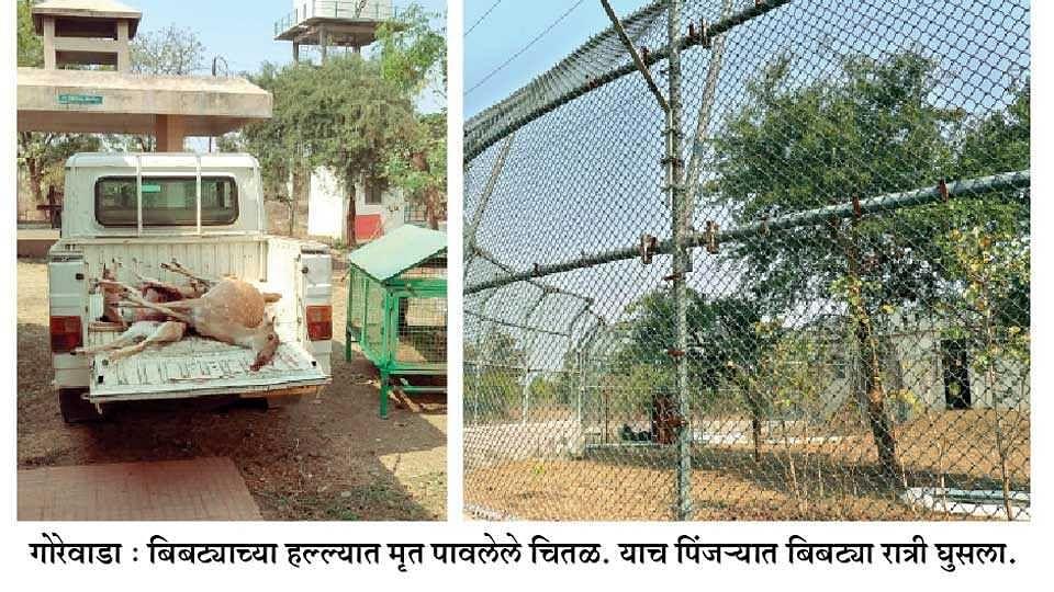 खुल्या पिंजऱ्यात शिरूनबिबट्याने वन्य प्राण्यांवर केलाहल्ला