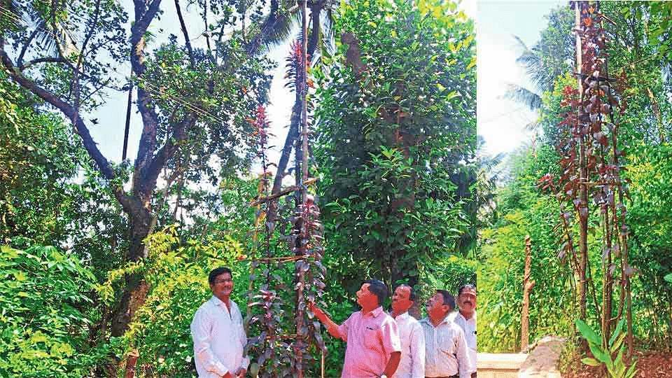 लाल माट तब्बल 16 फूट उंच