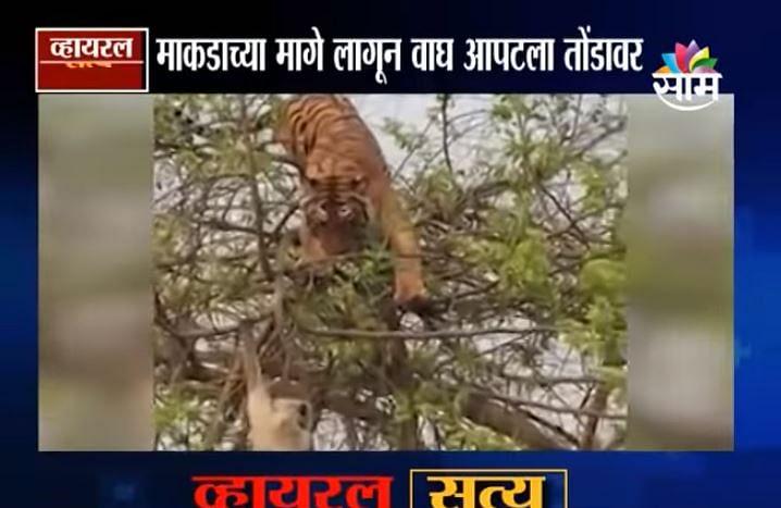 VIDEO | माकडाने केली वाघाची फजिती! बलाढ्य वाघाला माकडानं दिला चकवा