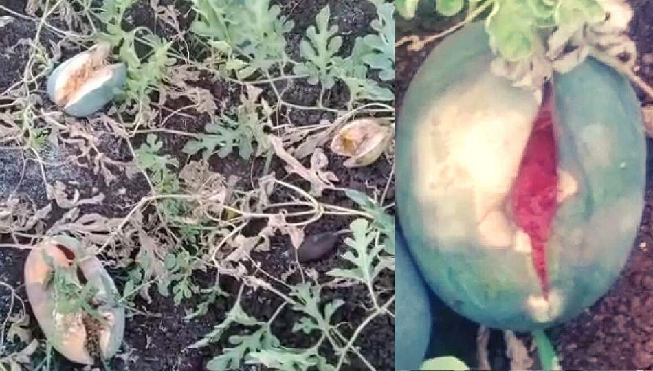 टरबूज शेतातच सडले; टरबूज उत्पादक शेतकऱ्यांवर संकट