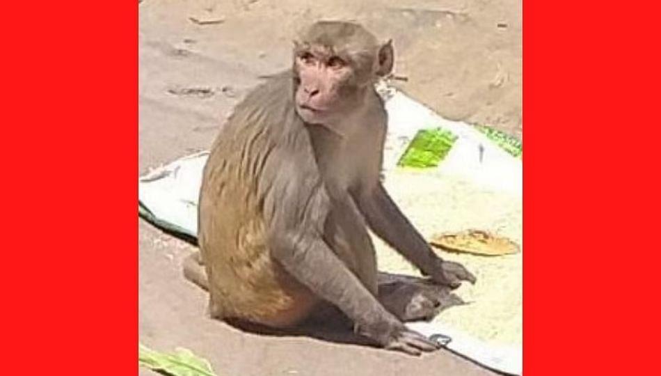 कोरोनाच्या लस निर्मितीत माकडांचेही योगदान....(पहा व्हिडीओ)