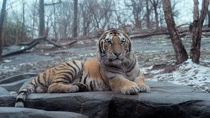 अमेरिकेत प्राणीसंग्रहालयातील वाघिणीला कोरोना, कर्मचाऱ्यालाही लागण झाल्याचा अंदाज