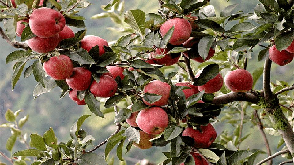 हिमाचल सफरचंदाची हंगाम अंतिम टप्प्यात