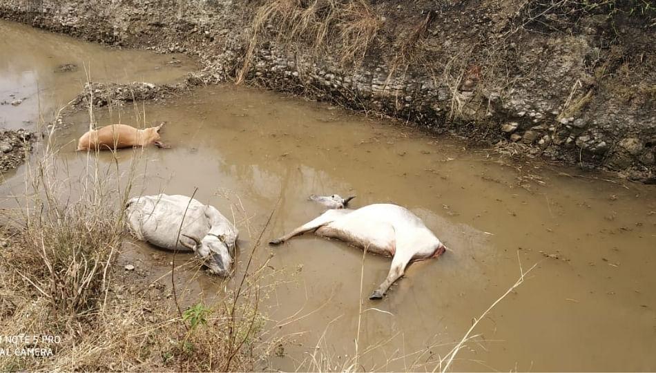 महावितरण कंपनीच्या भोंगळ कारभाराचा फटका :तीन गाईचा विजेच्या तारेला स्पर्श होऊन मृत्यू