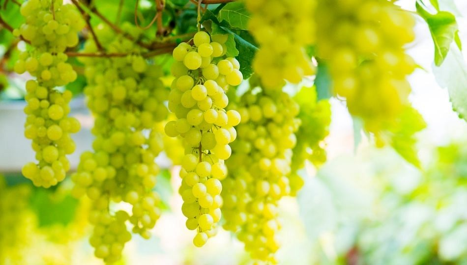 दुबई कंपनीकडून द्राक्ष शेतकऱ्यांची तीन कोटी रुपयांची फसवणूक