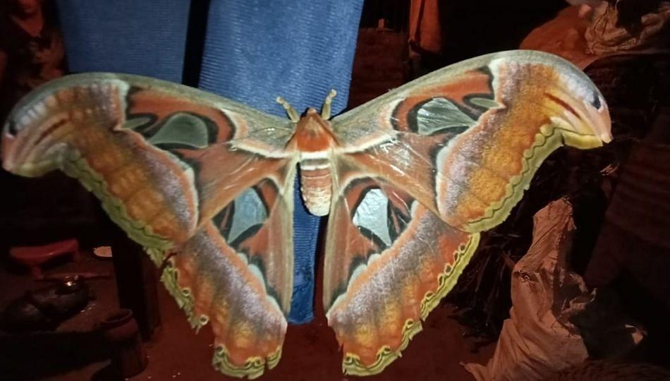 शिराळ्यात सापडले जगातील सर्वात दुर्मिळ फुलपाखरू