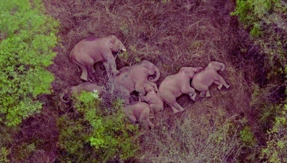 हत्तींचा कळप निघाला जगसफारीला - पहा  व्हिडओ