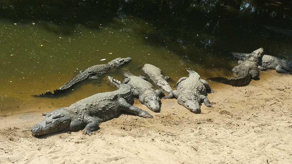 Singareni Collieries Crocodile Sanctuary