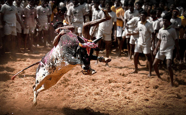 Animal Welfare Activists Are Wrong. Banning Jallikattu Will Endanger Many Native Livestock Breeds