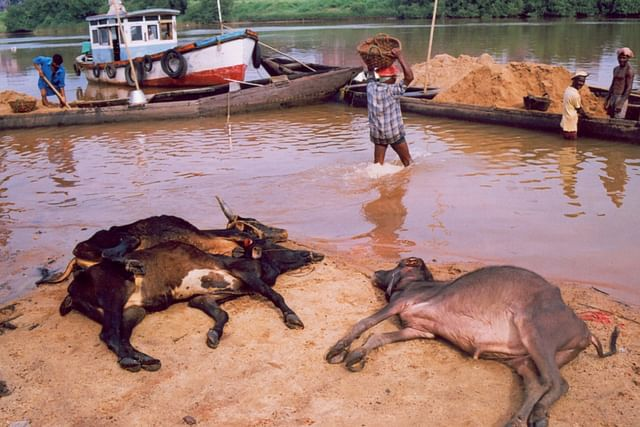 Cattle slaughtered at a riverside in coastal Karnataka (Pic by Manju Neereshwallya)