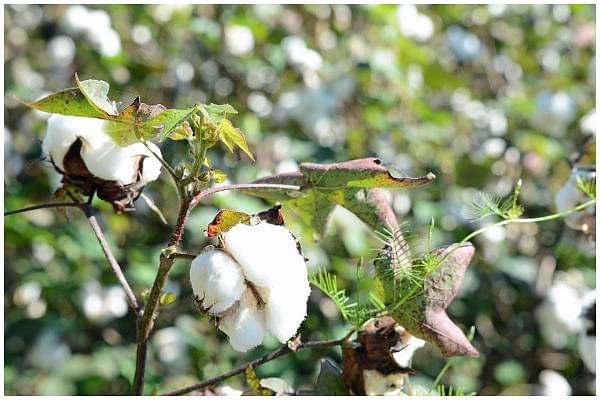 Why Farmers Are Insisting That They Be Allowed To Grow Herbicide-Tolerant Bt Cotton