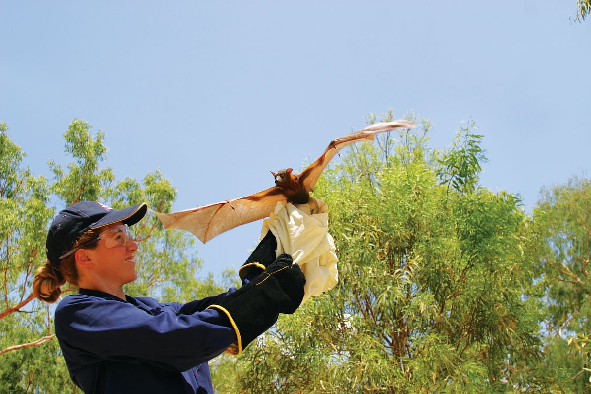 Ecologist and epidemiologist Raina Plowright prepares to release a little red flying fox (<i>Pteropus scapulatus</i>) after collecting tissue samples from the animal.