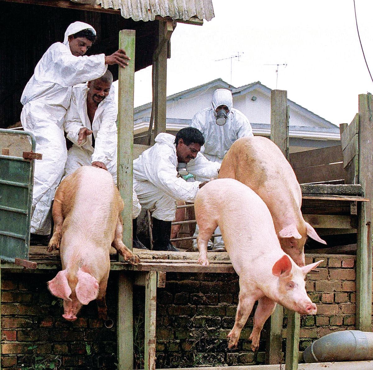 Pig farm workers push live pigs into a large grave in Nipah in 1999. To stop the outbreak, the Malaysian government culled almost 1 million pigs,nearly destroying the country's pork industry.