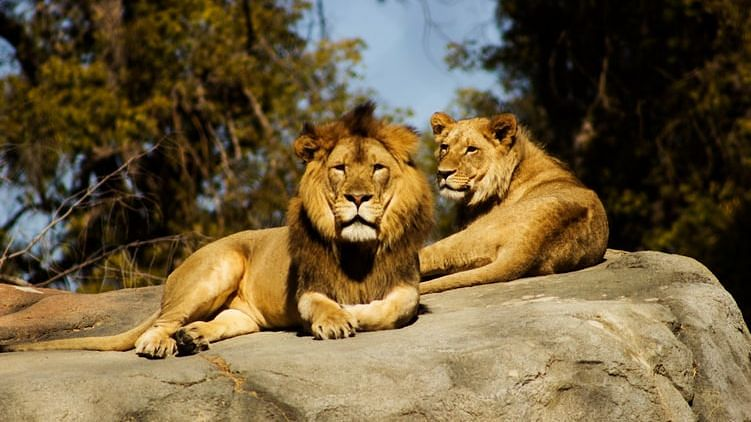 Now four lions at a zoo in Barcelona test positive for COVID-19