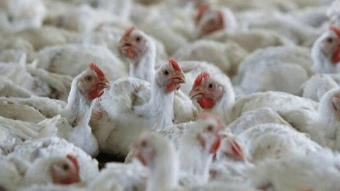 Bird flu in Maharashtra: Eggs and chicken safe to consume amid Avian Influenza?
