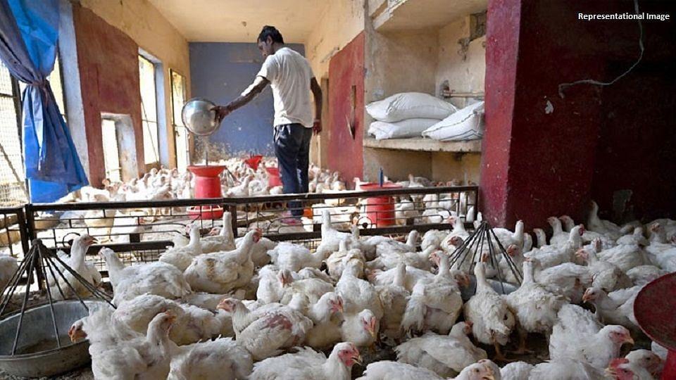 Bird flu in Pune: First confirmed cases of Avian Influenza reported; PMC issues helpline number
