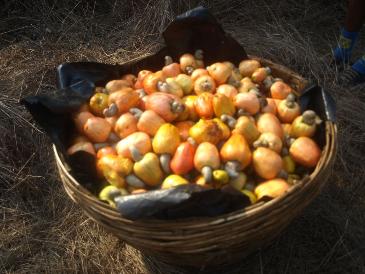 Goan Feni is distilled from the fermented juice of cashew apples
