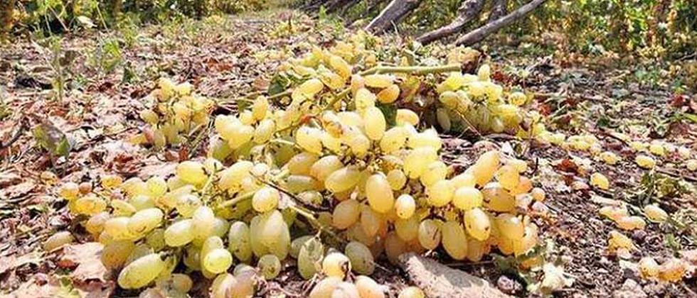 Grape cultivators suffer Rs 9K crore loss