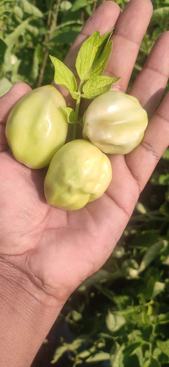 Mystery disease: 50 per cent of tomato crop in Maharashtra attacked