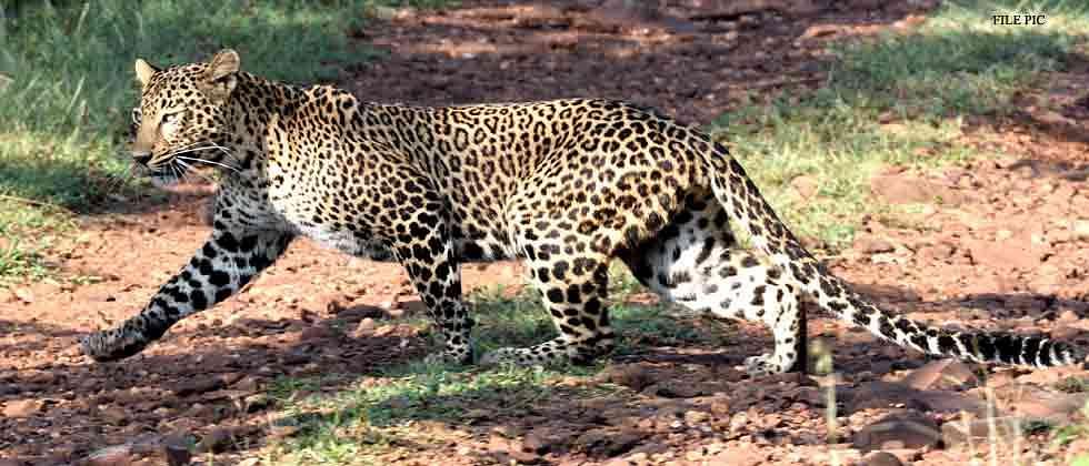 Leopard killed in accident on Pune-Nashik highway