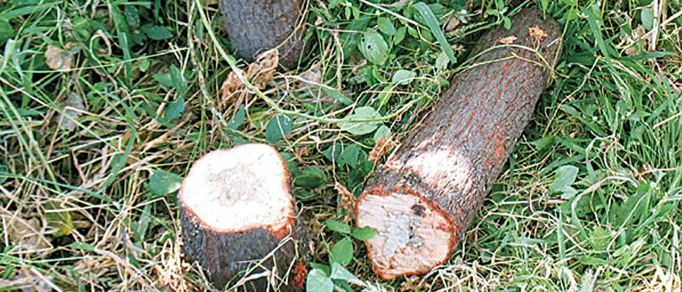 Pune Municipal Corporation to chop 250 trees in pre-monsoon drive