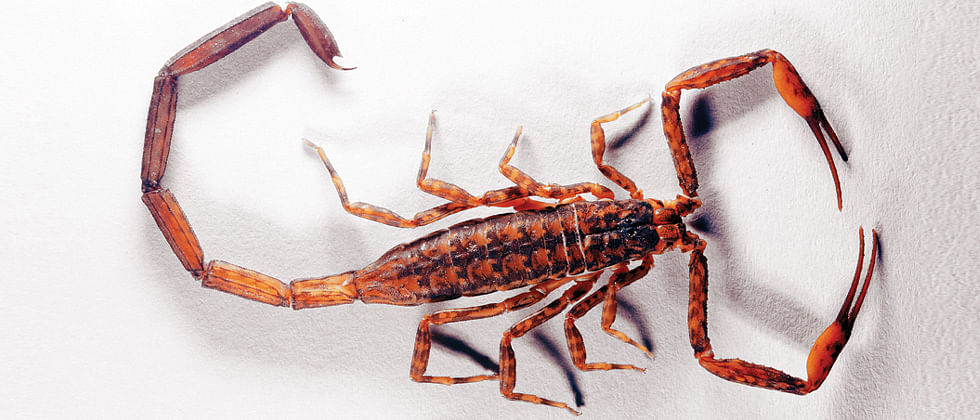 Pune-based scientists identify new scorpion species in Tamhini and Amboli