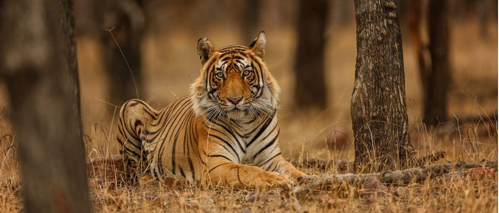 Coronavirus Maharashtra: After US, tigress quarantined in Nagpur
