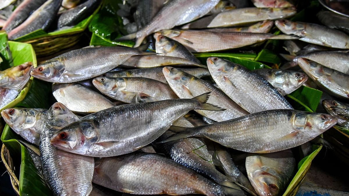 Bangladesh Grants Special Permission For Export Of Hilsa Fish To India
