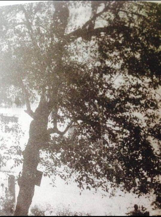 The Tree Baba Ji Maharaj Gave Life To