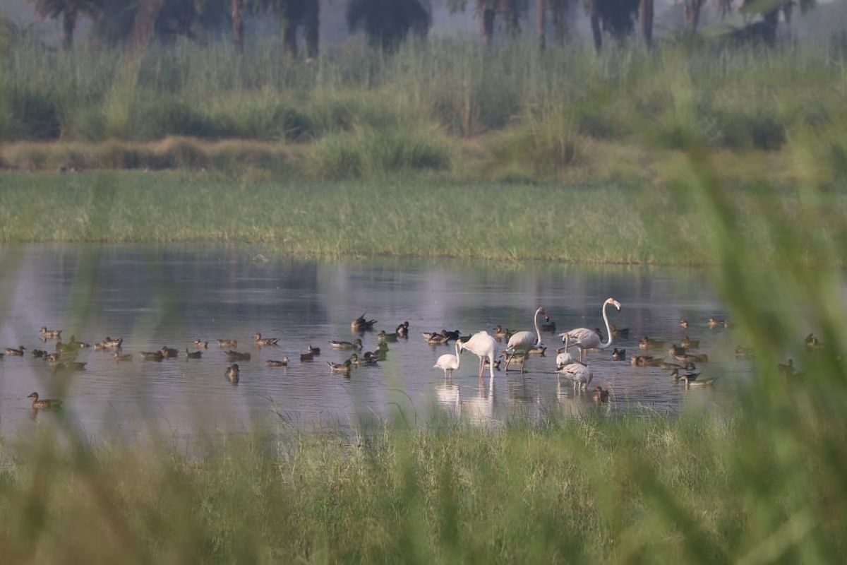 Greater Flamingo And Laser Flamingo Land In Lake Jodhpur In Agra