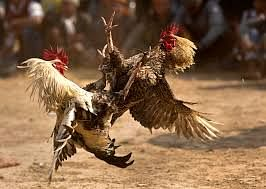 Forty Arrested In Baghpat For Illegal Cock Fight And Betting