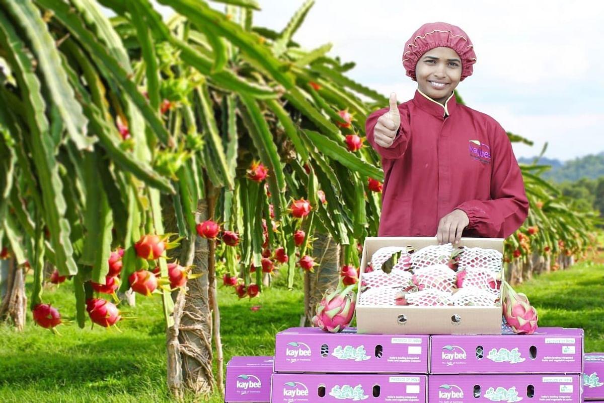 Exotic Dragon Fruit From Maharashtra Exported To Dubai