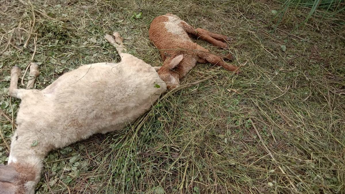 150 Sheep Found Dead In Prayagraj Village, Owners Allege Attack By Wild Dogs