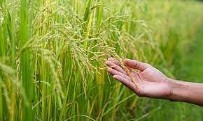 Over 16% Increase In Paddy Procurement Compared To Previous Season