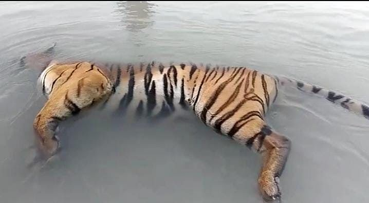 Body Of Tiger Found Floating In Ghaghra River Of UP