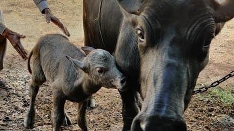 India's First Banni Buffalo IVF Calf Born
