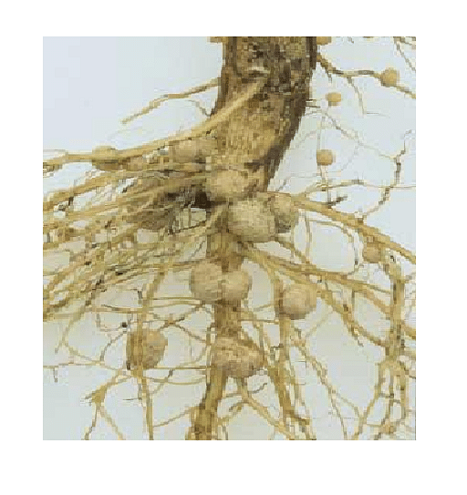• Root nodules on a legume root