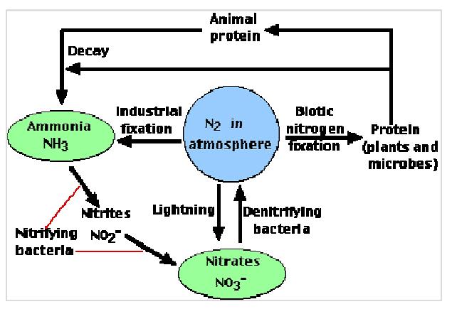 Schematic representation of nitrogen cycle